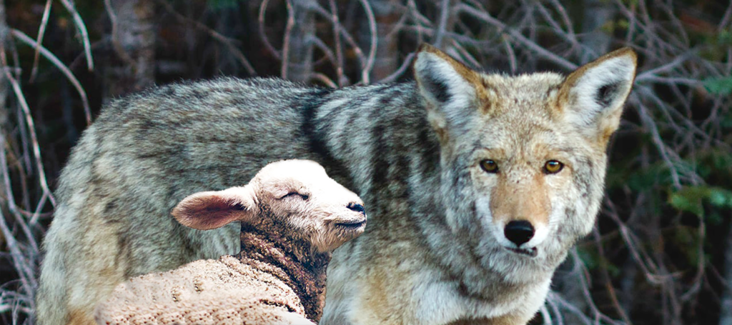 Dec 16 The Wolf and the Lamg - iamge of a lamb laying next to a wolf