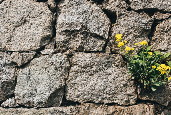 Dec 16 Born in Bethlehem - image of stone wall with flower groing through the cracks