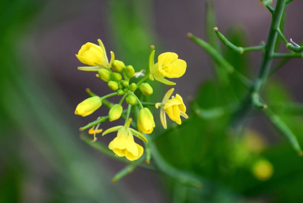 Dec 20 Zechariahs gift of silence - image of a mustard plant