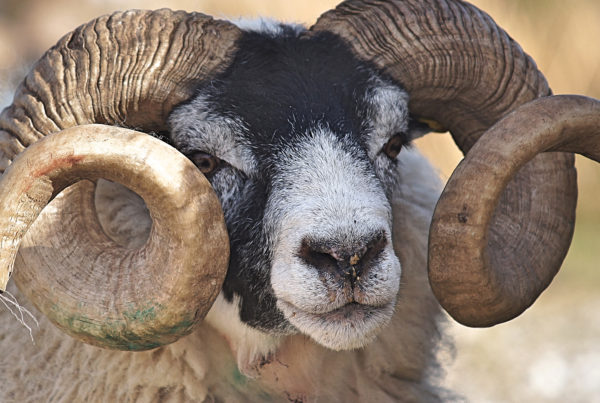 December 4: Sacrificing Isaac - image of a ram