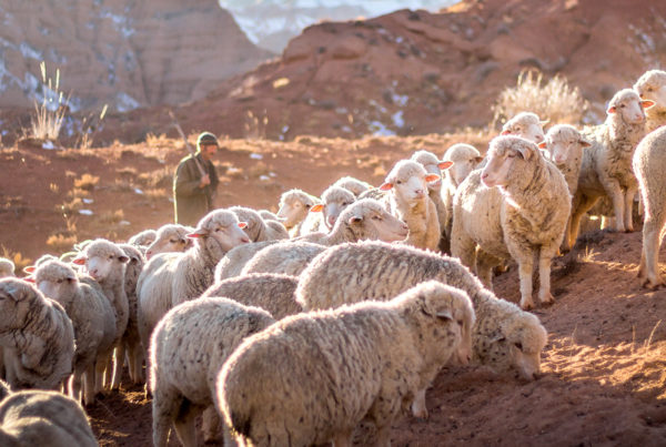 december-10-david-an-unlikely-king - image of sheep and a shepherd
