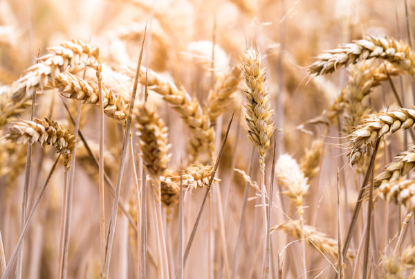 december-9-ruth-and-boaz - image of wheat