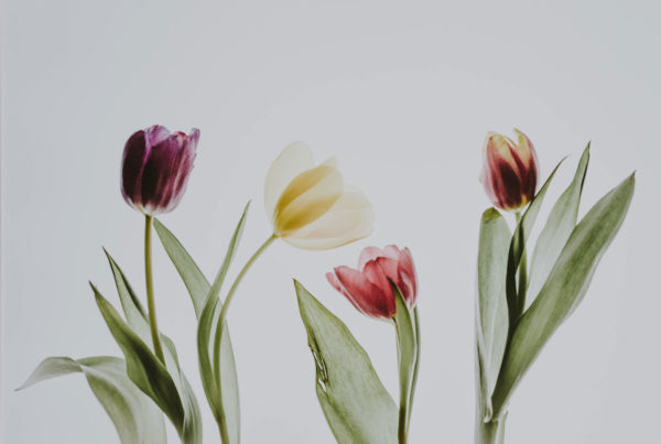 Main points III and IV of the Canons of Dort tulips