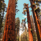 Innovative ideas are like these tall sequoia