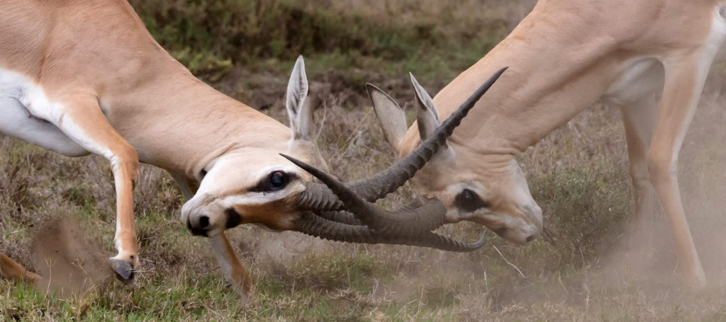Two tan antelopes lock horns during a conflict.