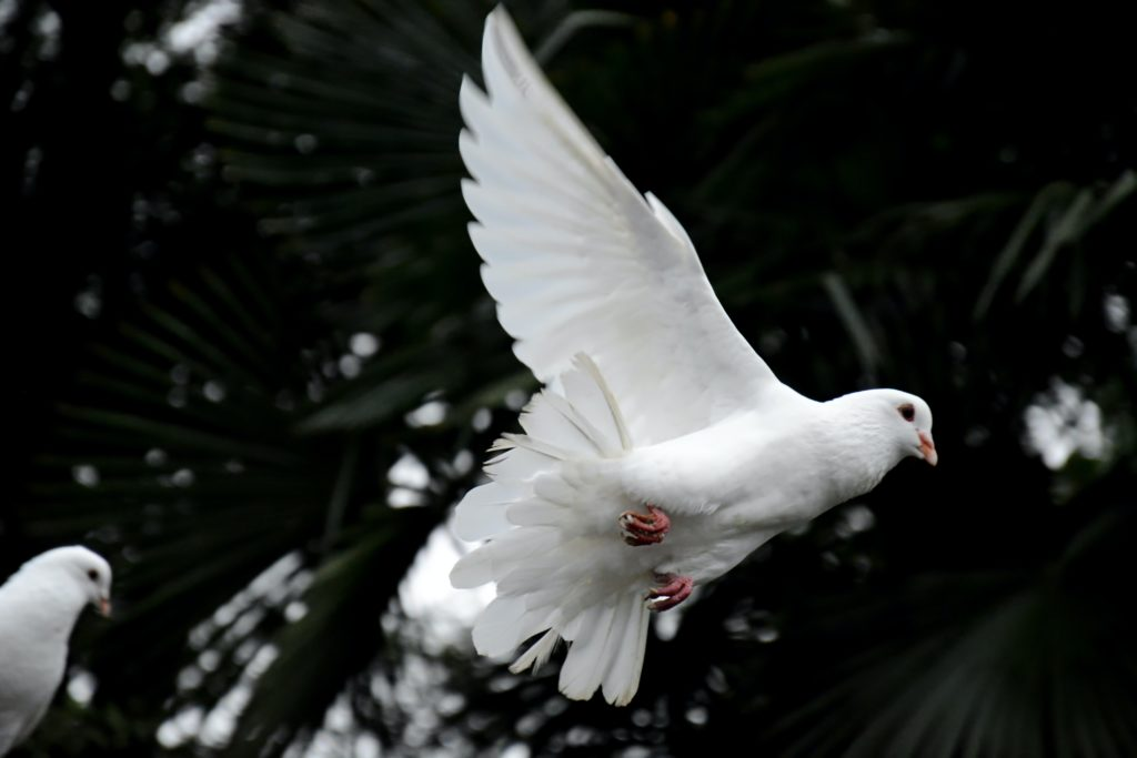 two white doves flying; a dove is a symbol for the Holy Spirit, one part of the Trinity