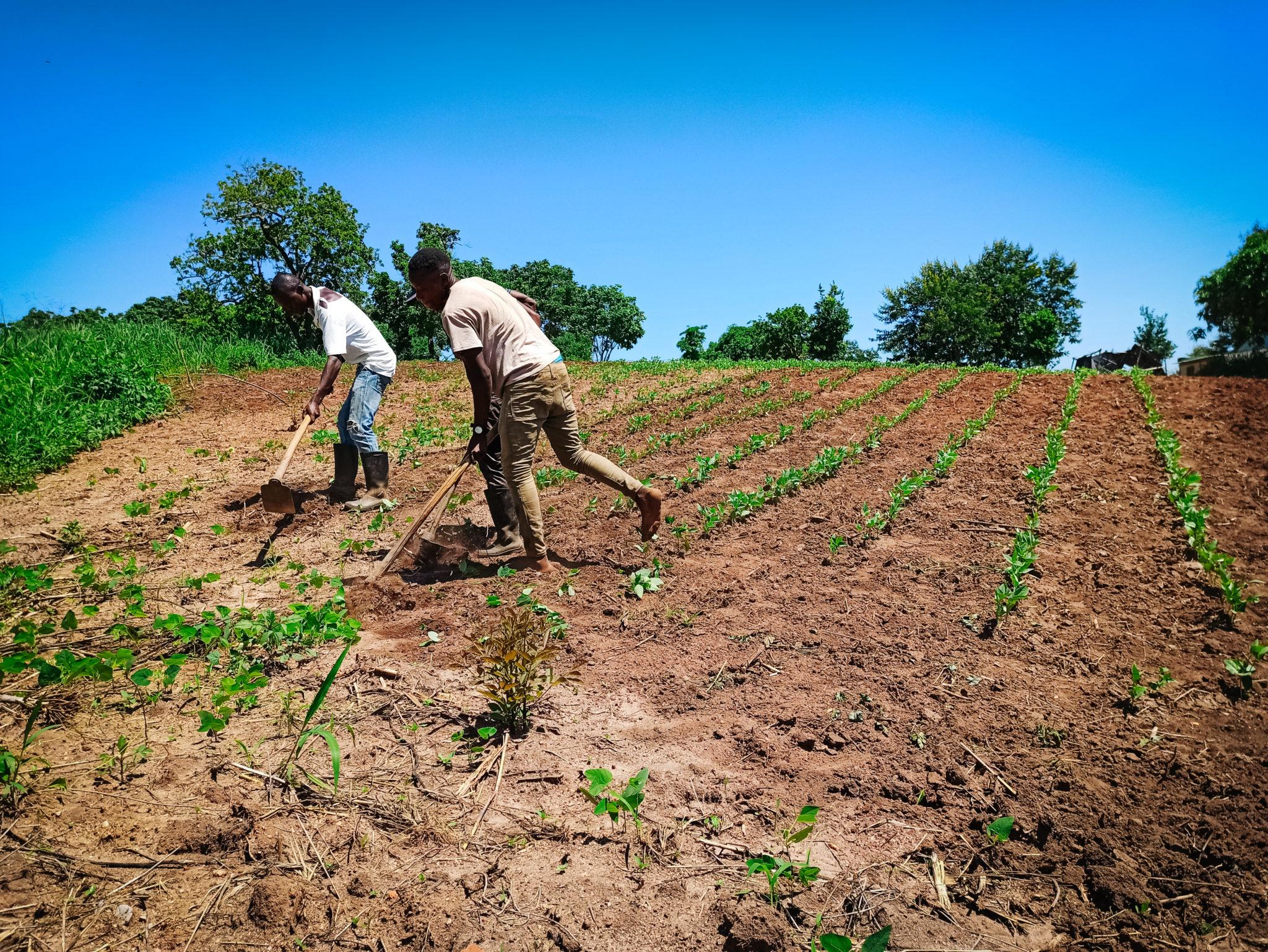 Three Mozambican men work a field
