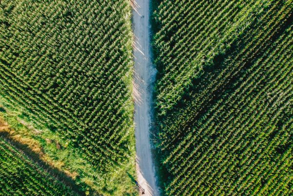 aerial view of road through cornfields