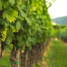 Vineyard with grapes growing on the vine