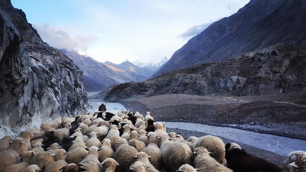 A flock of sheep follows their leading shepherd through the mountains.