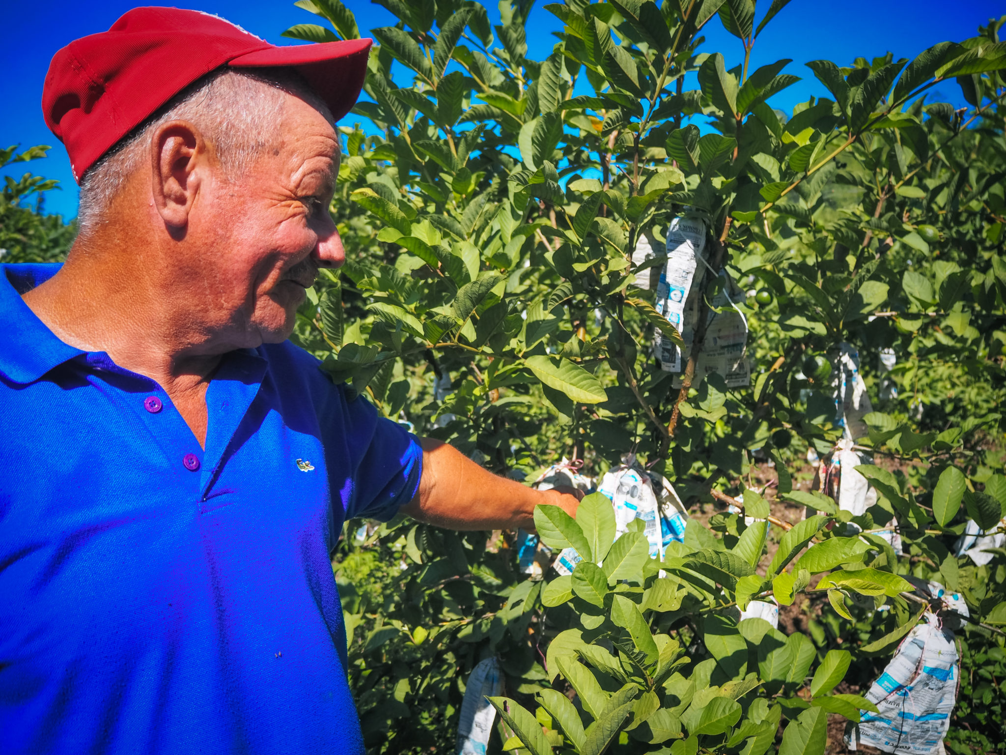 A Nicaraguan farmer proudly shows off his guava crop.