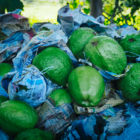 A pile of green guava fruits, some wrapped in newspaper, is a symbol of hope.