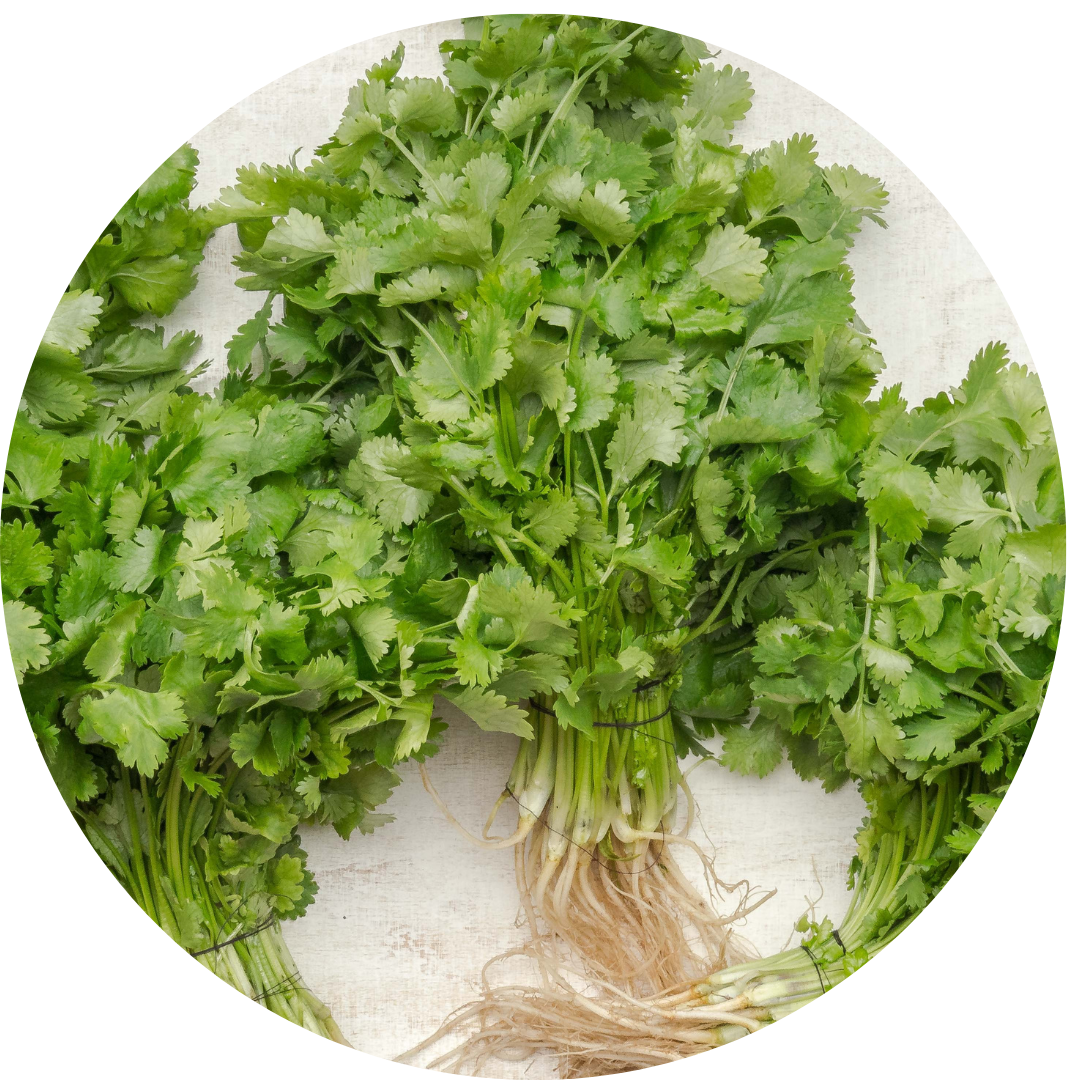 Parsley sprigs used during Passover as bitter herbs