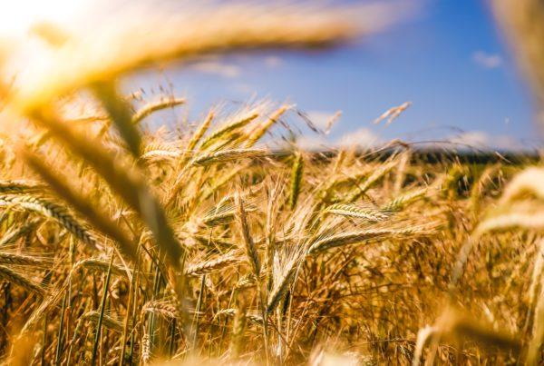 abundance of wheat in wheat field